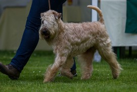 Wheaten-my-Love-Ever-my-Star-03.jpg
