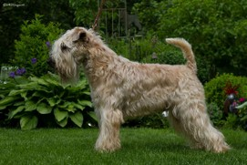 Wheaten-my-Love-Ever-my-Star-13.jpg
